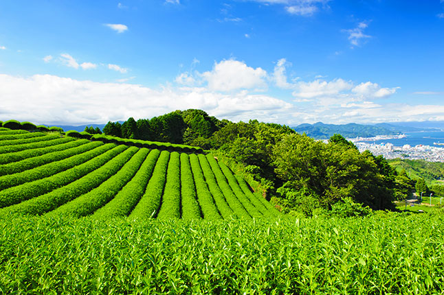 Japanese Tea Farm